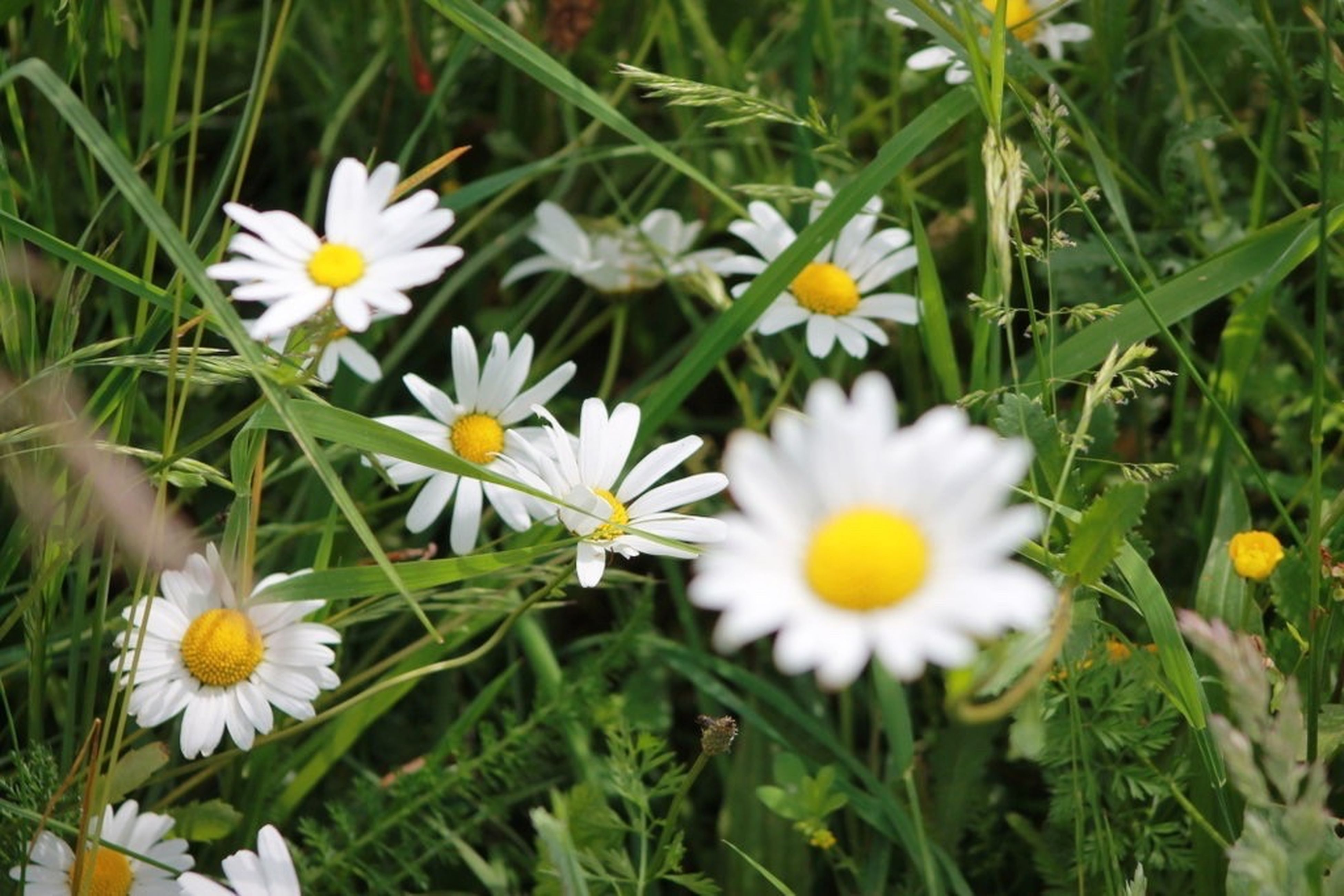 flower, freshness, fragility, growth, daisy, white color, petal, beauty in nature, flower head, nature, white, yellow, plant, stem, close-up, selective focus, growing, daisies, field, blossom, day, springtime, in bloom, pollen, blooming, outdoors, green color, wildflower, no people, flowering plant, uncultivated