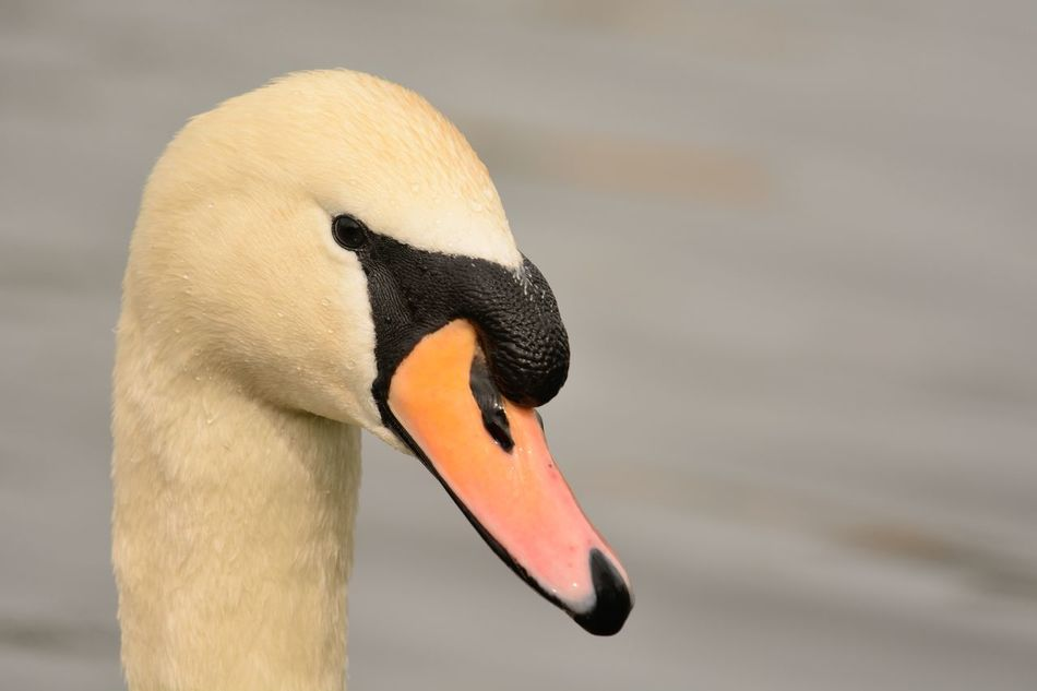 Animal Themes Animal Wildlife Animals In The Wild Beak Bird Check This Out Close-up Day Eye4photography  EyeEm Best Shots EyeEm Gallery EyeEm Nature Lover Focus On Foreground Nature Nature Photography Nature_collection Naturelovers No People One Animal Outdoors Portrait Swan Water Water Bird Wildlife