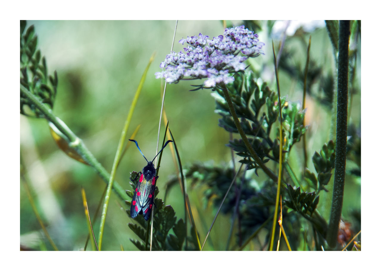 Green Color Plant Zygaena Filipendulae Booley Bay Insect Insect Photography Kraśnik Sześcioplamek Wexford Harbour