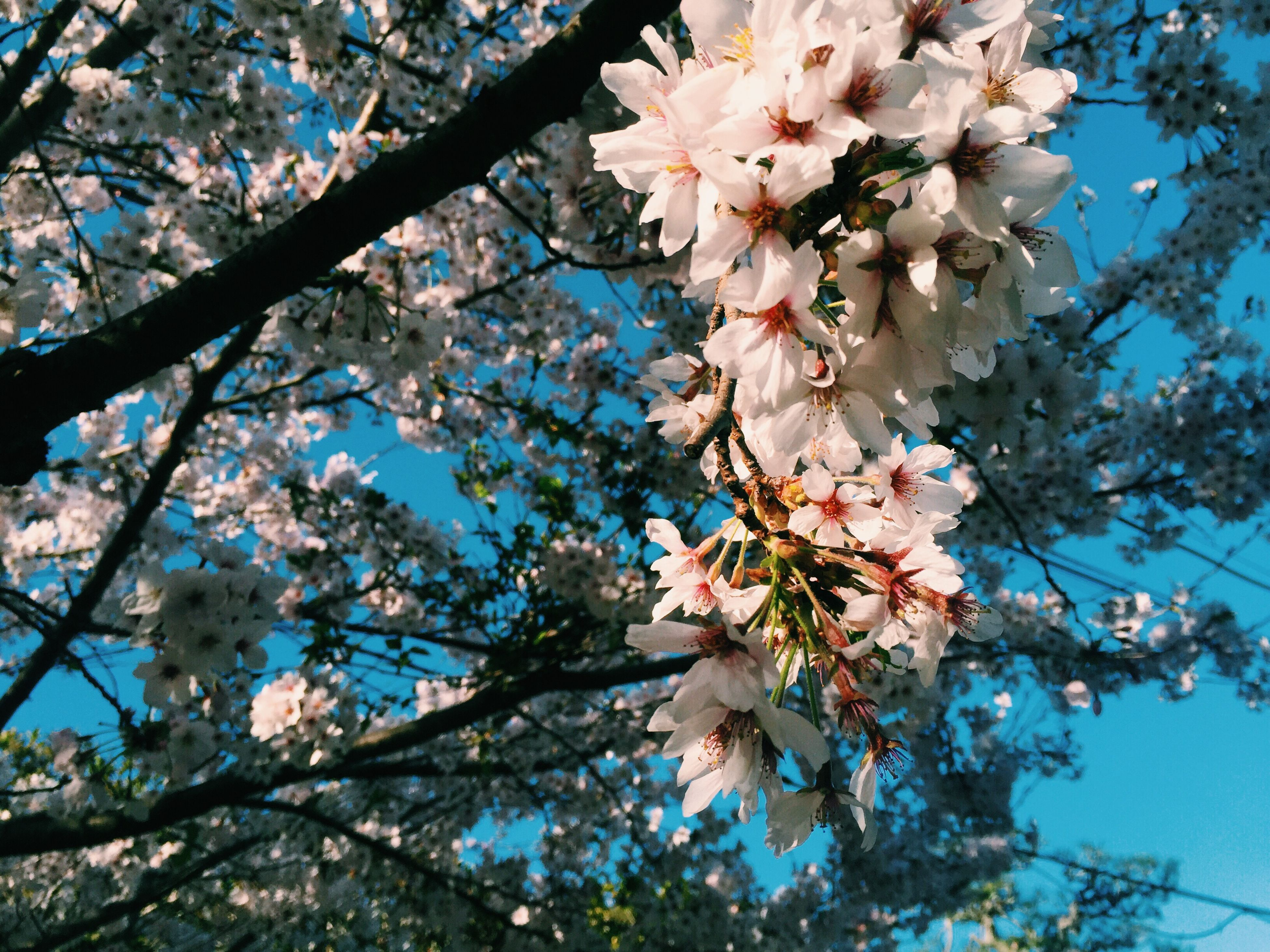 flower, low angle view, branch, tree, freshness, growth, fragility, blossom, cherry blossom, beauty in nature, nature, sky, cherry tree, blue, in bloom, blooming, springtime, petal, fruit tree, day