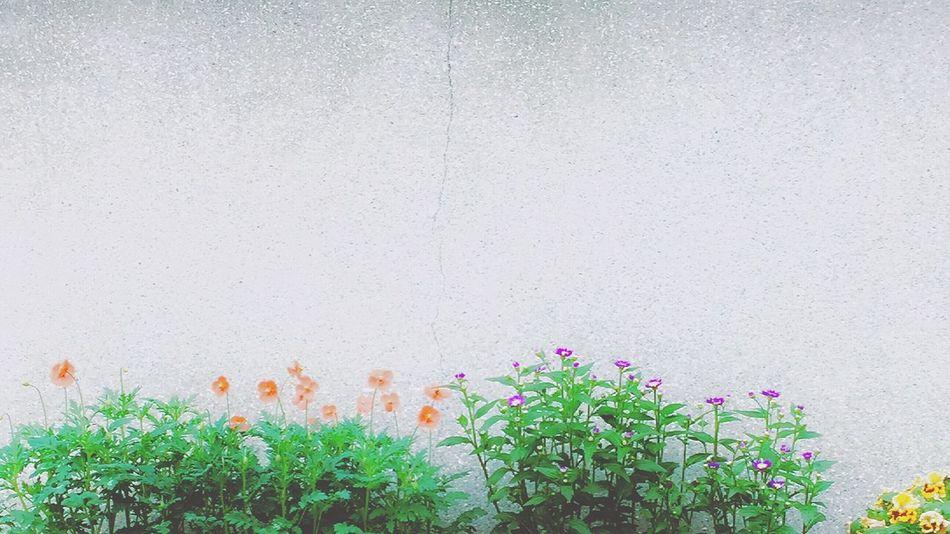 ヒナゲシ Flower Growth Plant Nature Fragility No People Freshness Outdoors Day Beauty In Nature Green Color Flower Head Blooming Architecture Close-up Poppy Flowers Kyoto City