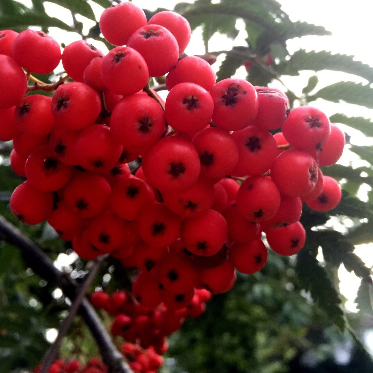 Red Fruit Abundance Selective Focus Vibrant Color Close-up Nature like Berries IPhoneography Iphonephotography
