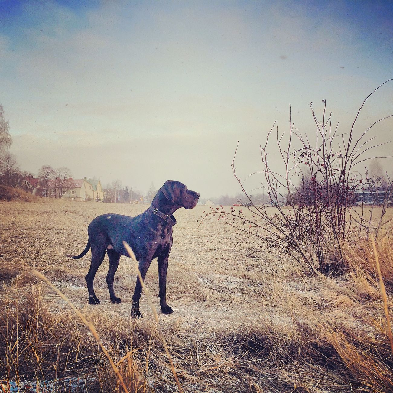 Greatdane Winter Finland Photography Gettingcolder