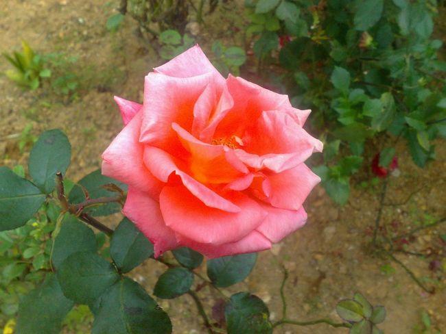Rose🌹 Pink Rose Rose♥ SriLanka Sri Lanka Hatton Trip