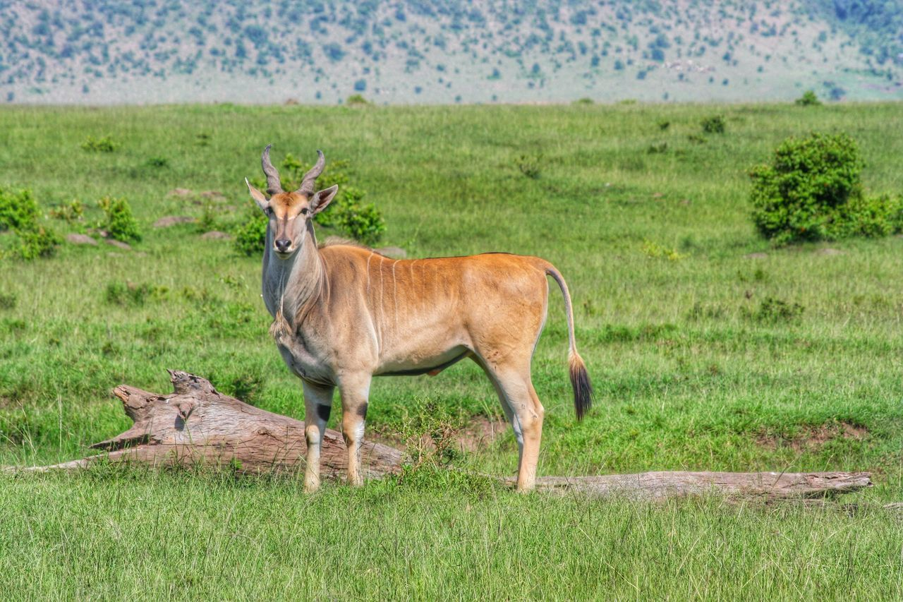 Nilgai In A Forest