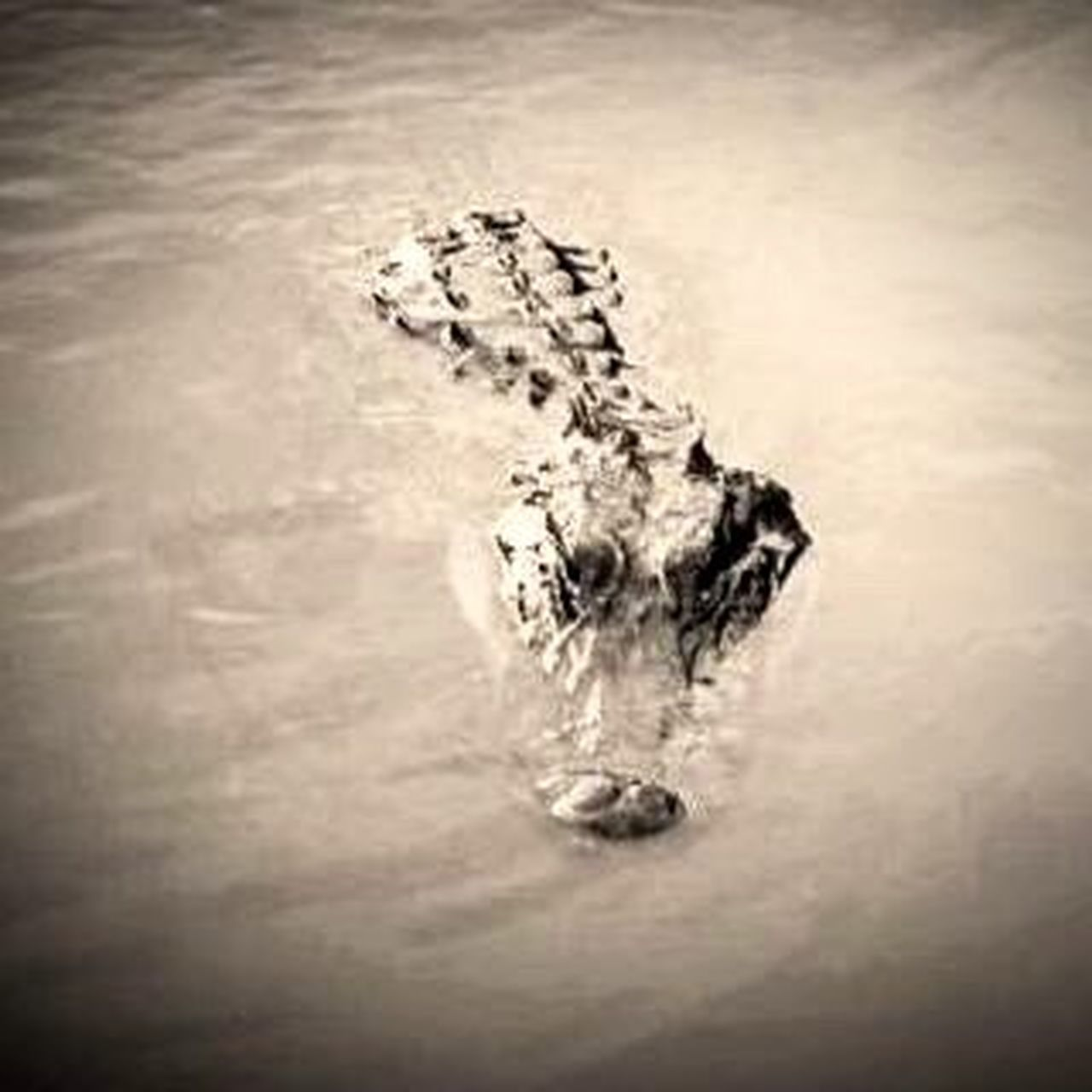 Curious. Boating Alligator Gator Lafitte Louisiana Nature Water Gentle Giant Animals Airboat Bayou Swamp Swamp Photos