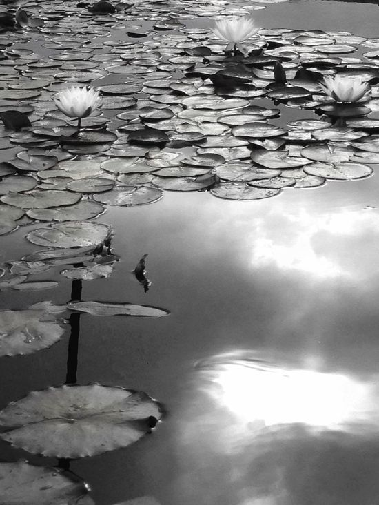 Water Lilies... The Great Outdoors With Adobe The Great Outdoors - 2016 EyeEm Awards Water Lillies Mobilephotography Pond Life Water_collection Learn & Shoot: Simplicity EyeEm Gallery Flower Obsession Eye4photography  Exceptional Photographs EE Daily Shootermag EyeEm Masterclas Black And White Light And Shadows Eyem Best Shots Nature_collection