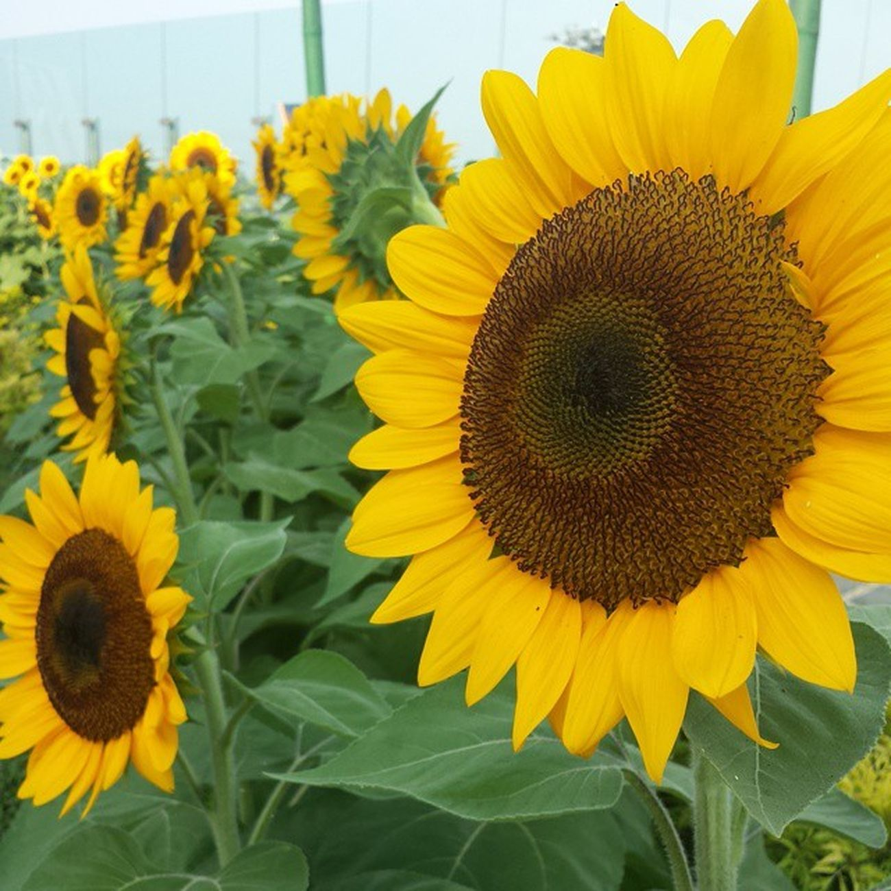 I've never seen so many of them! Changiairport Sunflowergarden
