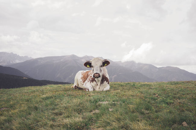 Adventure Alps Animal Animal Themes Cloud - Sky Cow Day Domestic Animals Front View Grass Hiking Horizontal Landscape Livestock Looking At Camera Mountain Nature Nature No People One Animal Outdoors Portrait Sky Sky And Clouds Wood