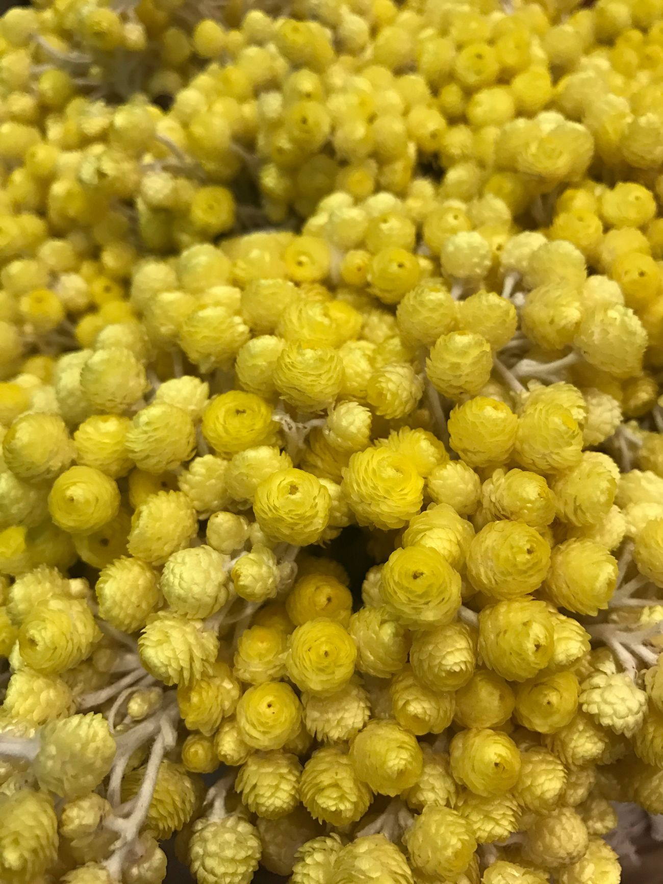 Immortelle Flowers at L'Occitane Yellow Full Frame Food And Drink Backgrounds Close-up No People Healthy Eating Freshness Large Group Of Objects Indoors  Food Nature Seed Chick-pea Day