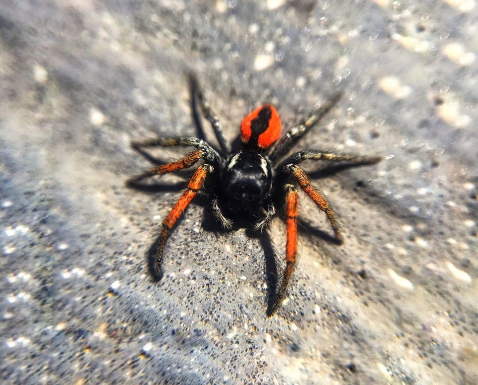 Spider Orange Corsica IPhoneography Macro Animals In The Wild Nature