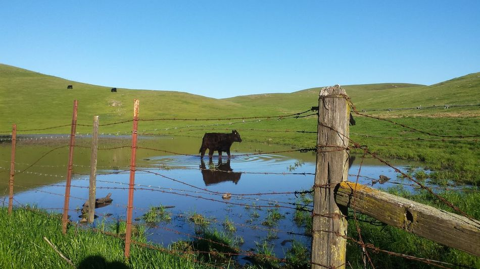 Cow Barbed Wire Reflection Mission Peak Regional Reserve Fremont San Francisco Bay Area On Your Bike
