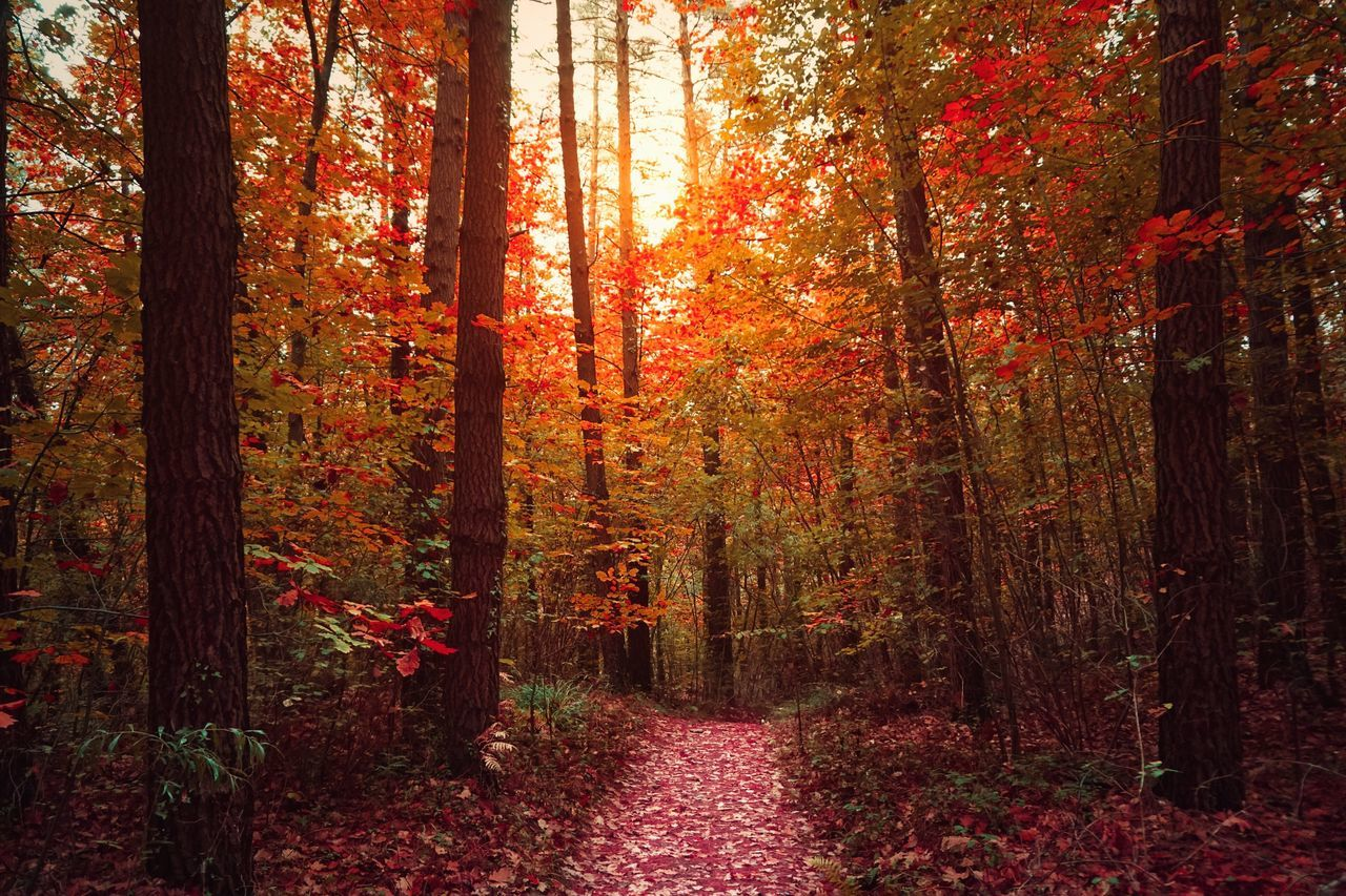 Nature Forest Tree Beauty In Nature Landscape WoodLand Autumn Tranquility Sunlight Outdoors Growth Scenics No People Day Trees Path Sunset