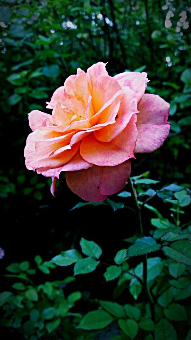 Beautiful garden rose First Eyeem Photo Flowers Flowerporn