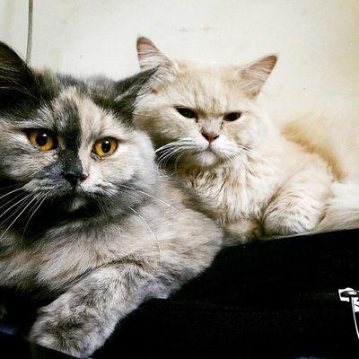 😍 zoey & Casper Love Mysore Couple Cute Pets Mysurumemes Persiancat Catsofinstagram