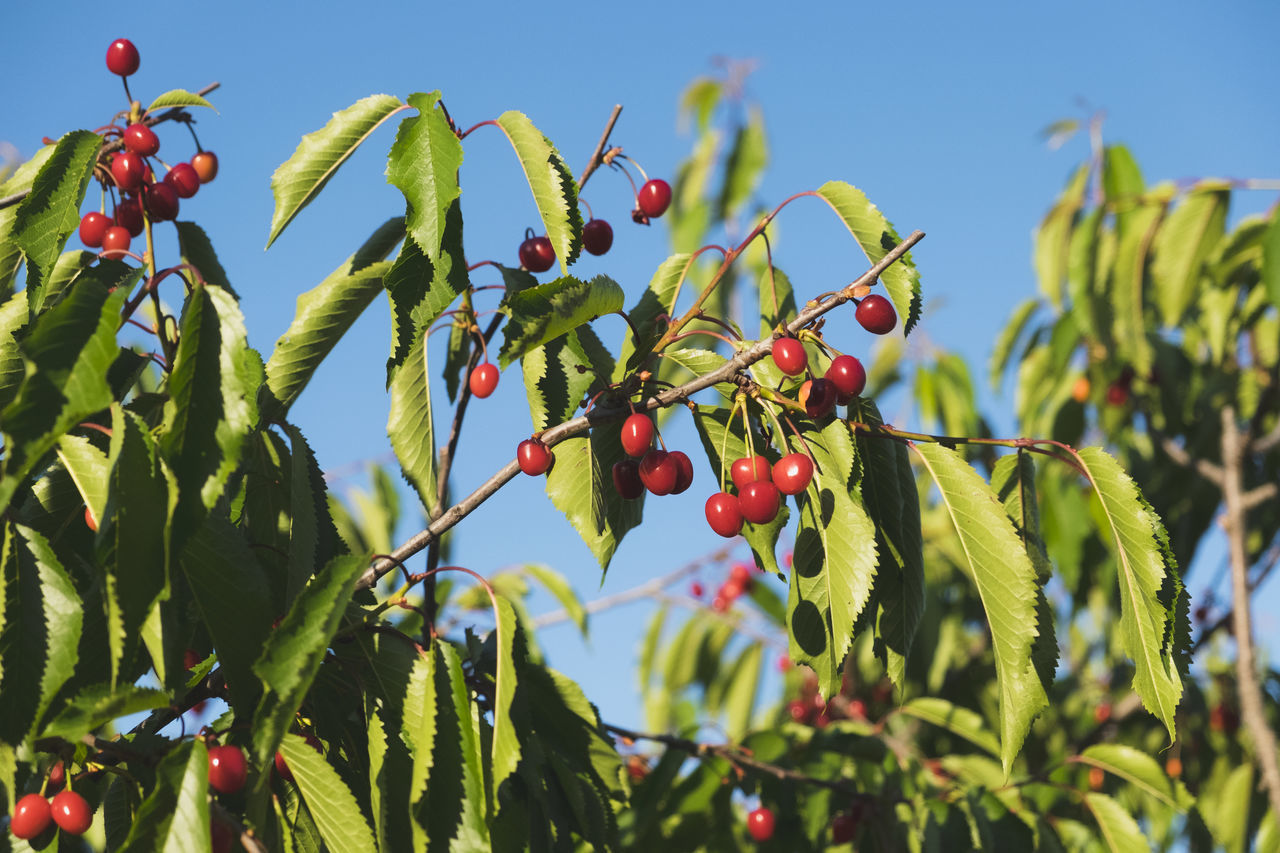 Beauty In Nature Branch Cherry Cherry Tree Close-up Day Focus On Foreground Food Food And Drink Freshness Fruit Green Color Growing Growth Healthy Eating Leaf Low Angle View Nature No People Outdoors Plant Red Rowanberry Sky Tree