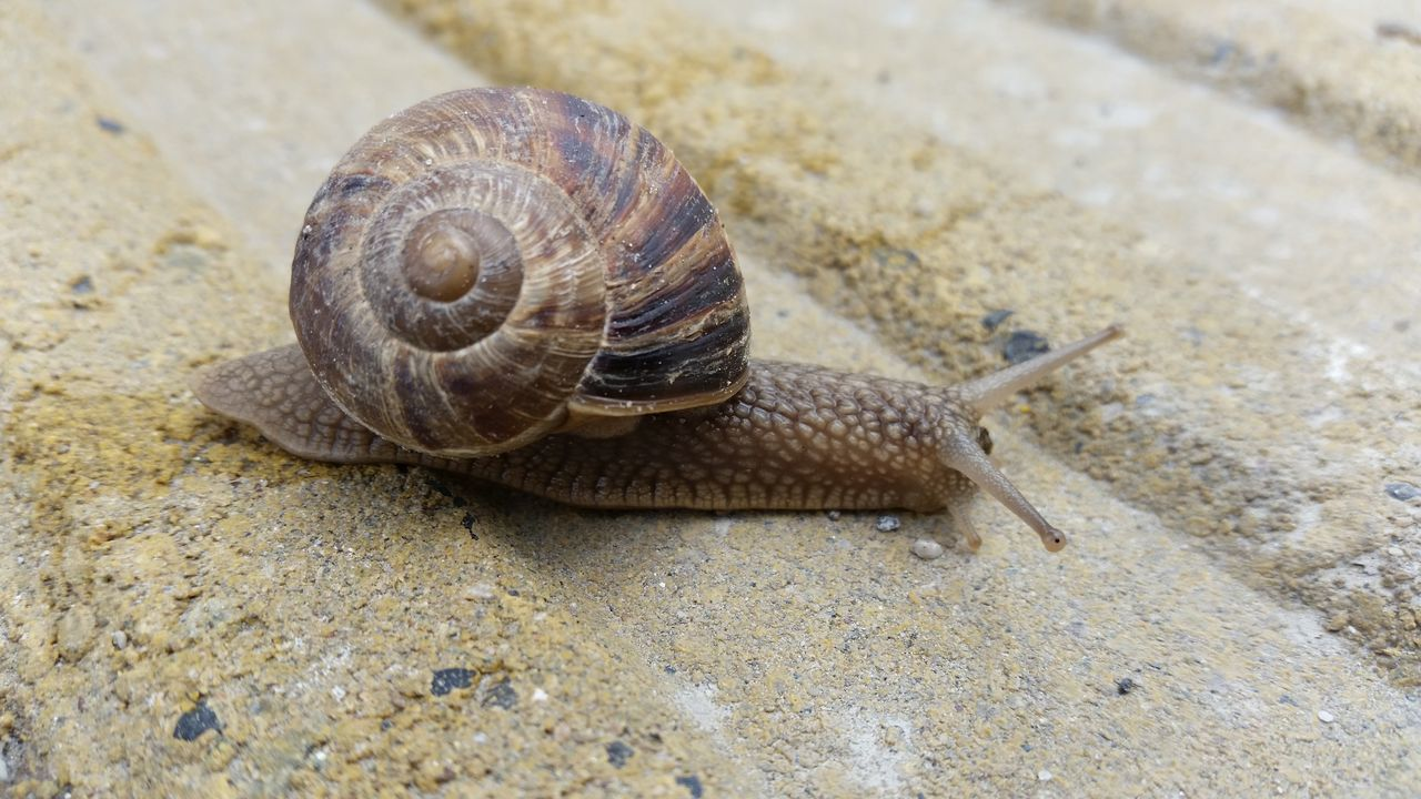 snail, one animal, animal shell, animal themes, animals in the wild, gastropod, wildlife, close-up, nature, day, sand, animal wildlife, outdoors, no people, fragility