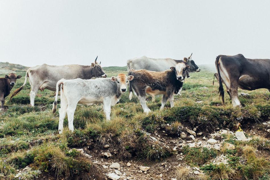 Beautiful stock photos of kühe, Botevgrad, Bulgaria, Pasture, animal Themes