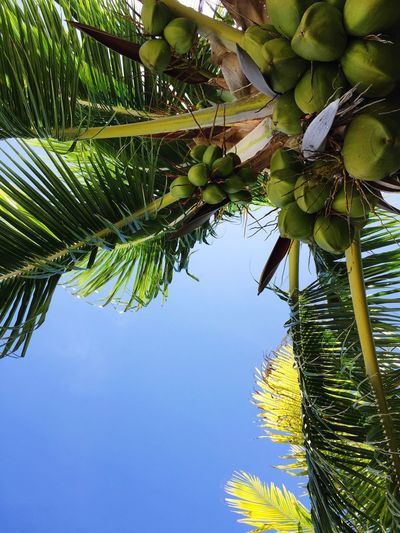 Graham's Tree Coconut Palm Tree Nature Leaf Low Angle View Day Beauty In Nature No People Outdoors Bonacca Honduras Central America Guanaja