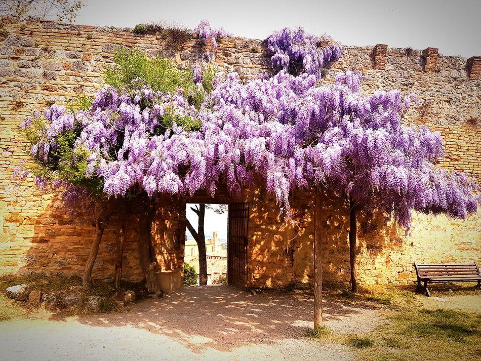 Glicine San Gimignano Toscana Porta Rocca