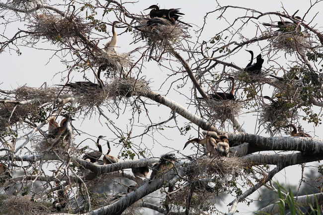 darter colony, Chobe river, Botswana Africa Bare Tree Beauty In Nature Branch Chobe River Darter Darter Colony Different Perspective Low Angle View Nest Nesting Tranquil Scene Tranquility Tree Wallpaper Wildlife Wildlife Birds Wildlife Photography