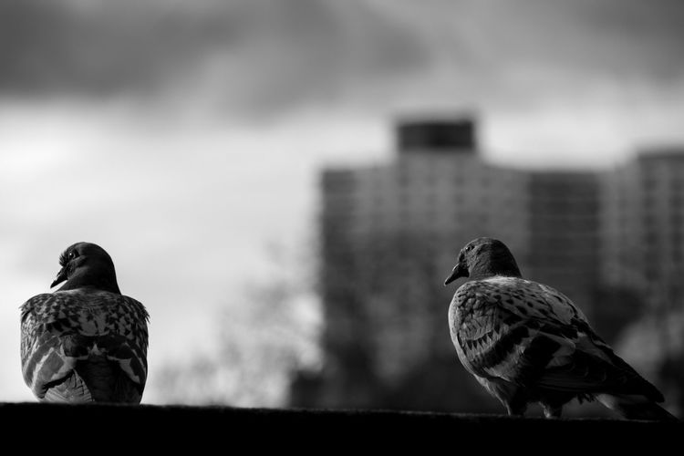 Les Horizons Place Des Lices Rennes Animal Themes Animal Wildlife Animals In The Wild Bird Close-up Day Focus On Foreground Nature No People Outdoors Perching Pigeon Pigeon Bird  Rennesmetropole Sky