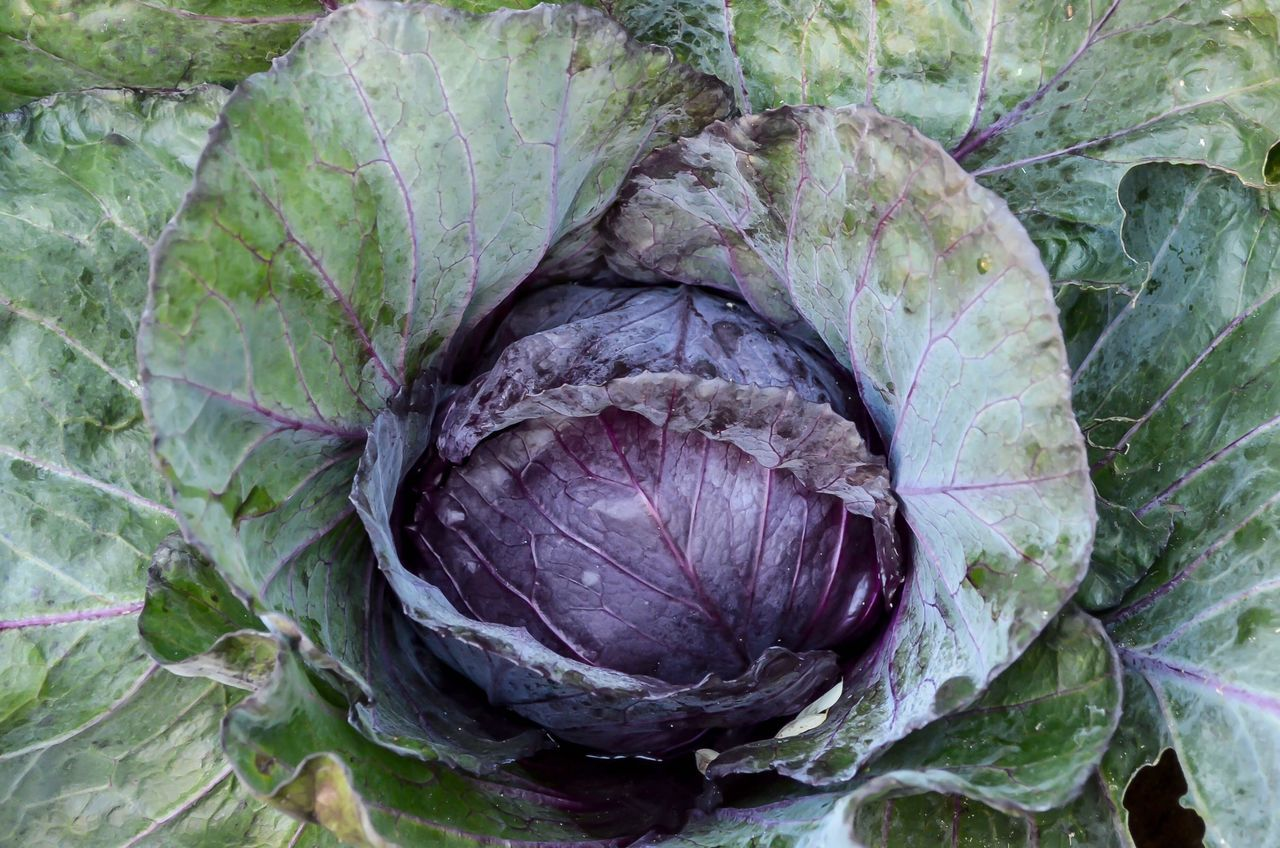 leaf, food and drink, vegetable, healthy eating, freshness, food, purple, raw food, no people, day, close-up, nature, plant, growth, outdoors, directly above, agriculture, artichoke, beauty in nature
