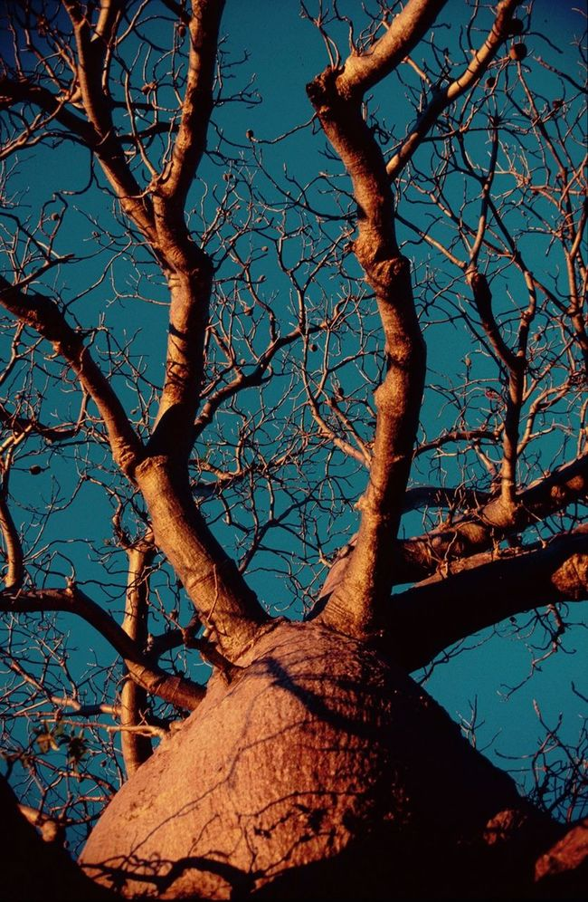 Australian Outback Backgrounds Bare Tree Boab Tree Branch Change Contrast Dead Plant Destruction Dry Fence Full Frame Low Angle View Majestic Mystery Nature Nature_collection No People Outdoors Silhouette Tree Tree Trunk Twig Winter