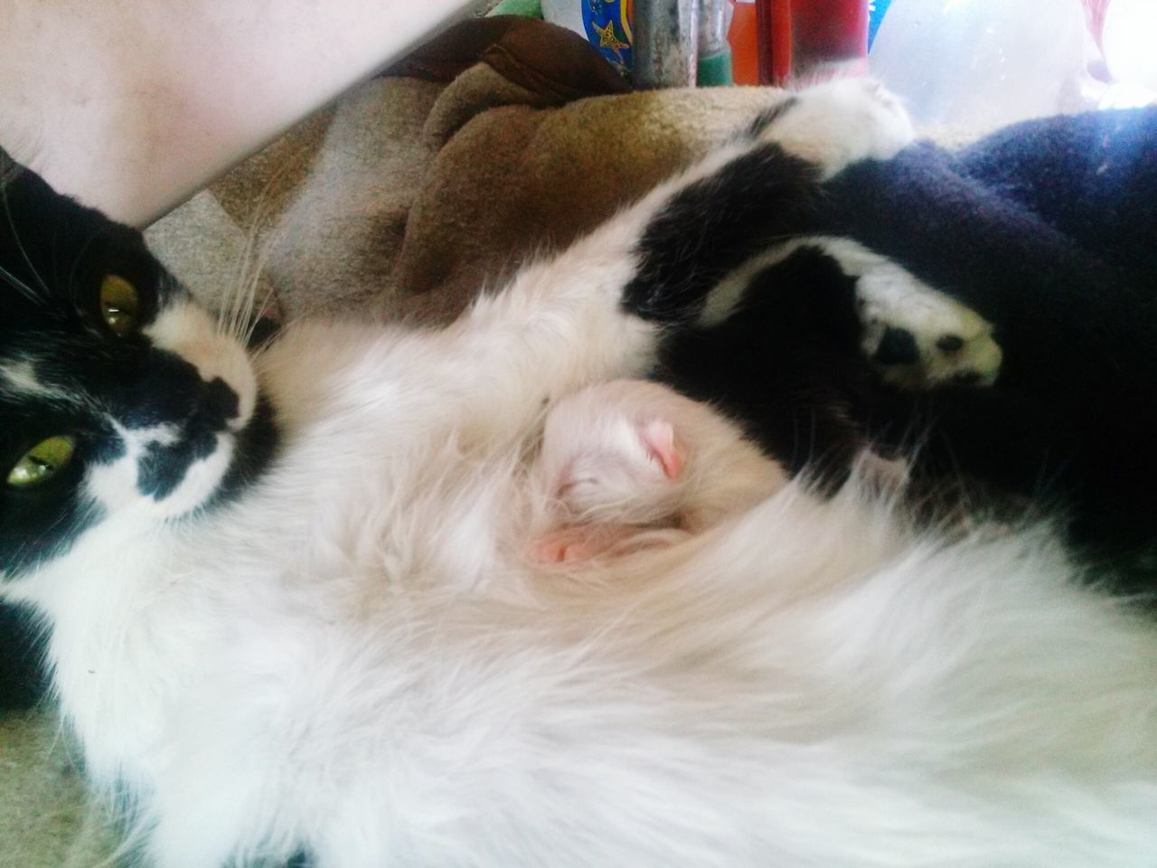 domestic animals, mammal, pets, animal themes, domestic cat, indoors, sleeping, feline, relaxation, no people, close-up, day
