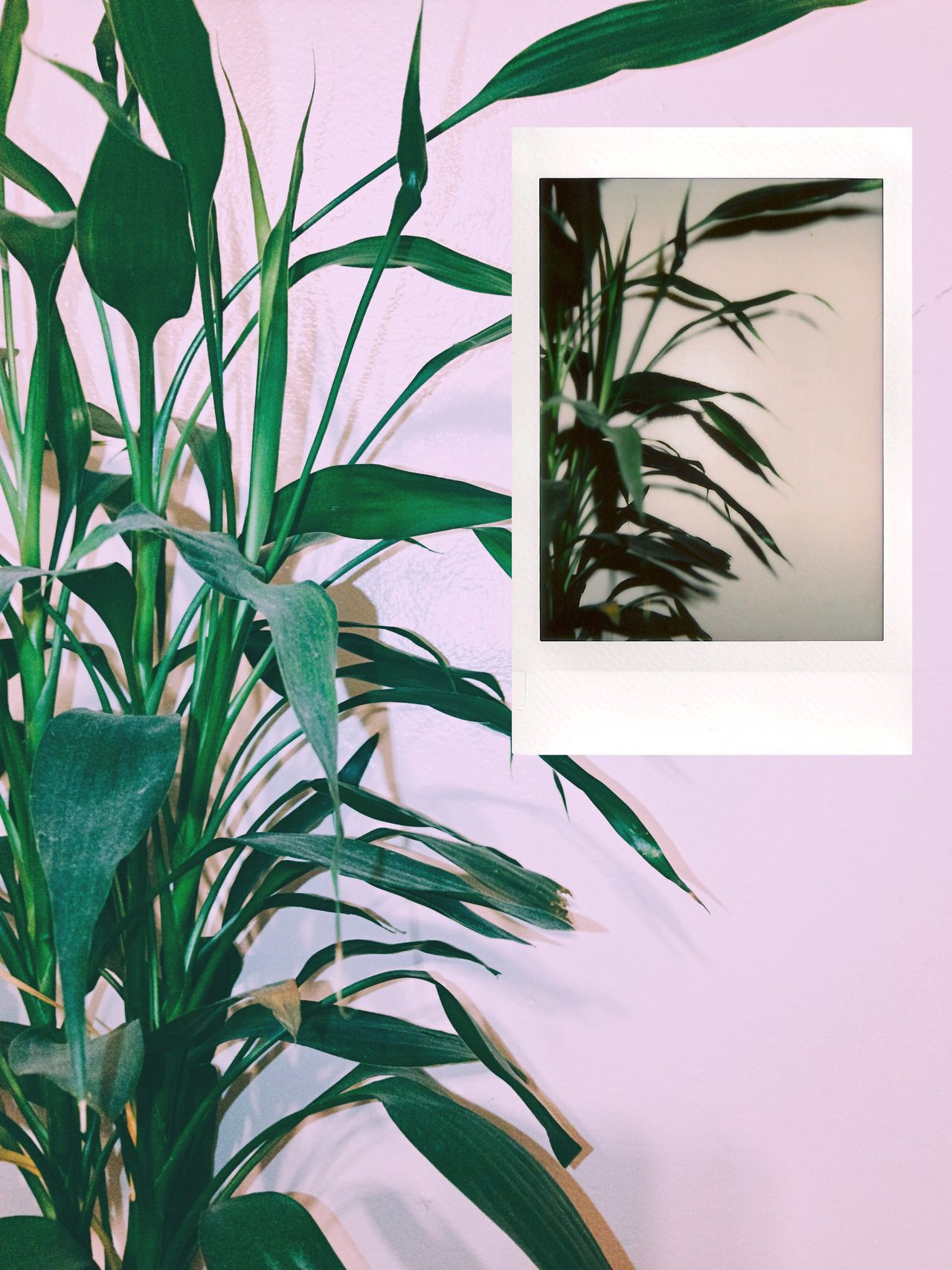 I think this is one of my favorite shots that I've done for this project so far for the simple fact that the instax shot came out exactly the way I wanted it to 🌿👌🏻 Instant Photo A Day Leaf Plant Nature Growth Green Color No People Outdoors Day Sky Film Photography Film Is Not Dead Minimalism Aesthetics Simplicity
