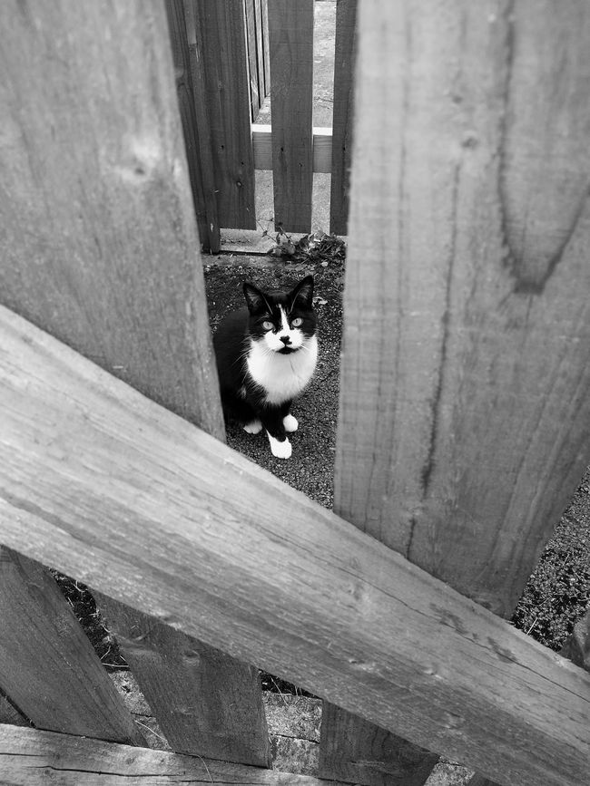 Monochrome Photography Animal Themes Domestic Animals Animal Themes Domestic Animals Pets One Animal Domestic Cat Mammal Cat Looking At Camera Portrait Feline House Alertness Whisker Peeking Day Outdoors Zoology Below Curiosity Animal Head