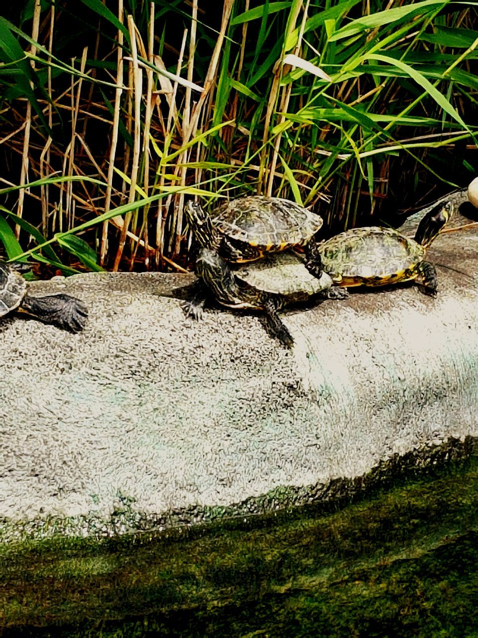 animal themes, reptile, one animal, animals in the wild, no people, tortoise, nature, grass, water, day, outdoors, tortoise shell, close-up