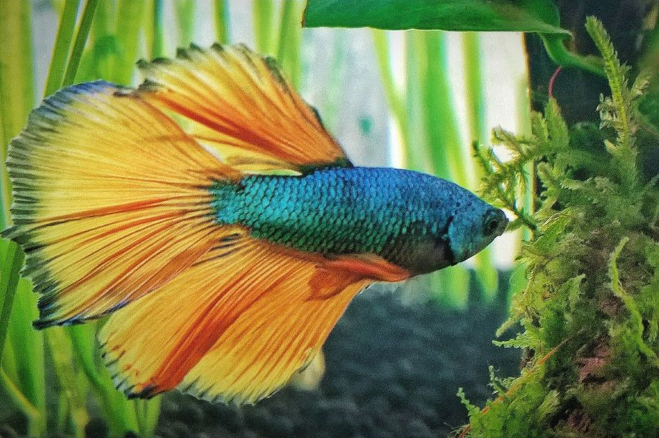 Betta Fish Swimming Bettasplendens Bettacommunity Bettasiamesefish Bettasofinstagram Bettafishcommunity Betta Lovers Aquarium Photography Aquarium Life Colourful Color Explosion Beauty In Nature Aquarium Underwater