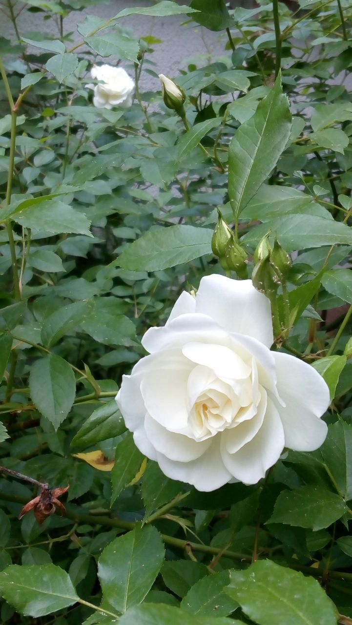 white color, flower, plant, leaf, petal, growth, nature, beauty in nature, flower head, rose - flower, fragility, green color, no people, day, blooming, freshness, outdoors, close-up