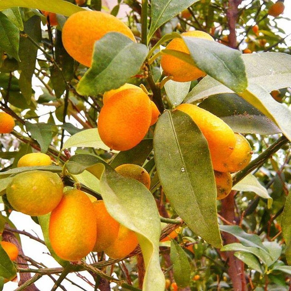 китайские апельсинчики поДороге флораифауна апельсин растения краскиосени Autumn Flora Orange Plants Occasionally Picoftheday Myisrael Instaisrael Rishonlezion Instagram_israel Insta_Israel Instagram_israel_ Instaisrael Ig_israel Fruit Citrus