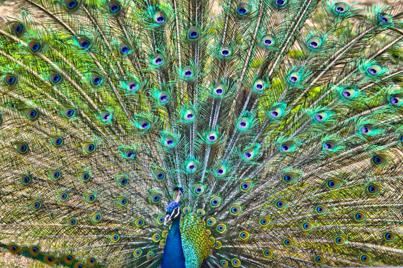 Beautiful stock photos of peacock, Backgrounds, Beauty In Nature, Blue, Detail
