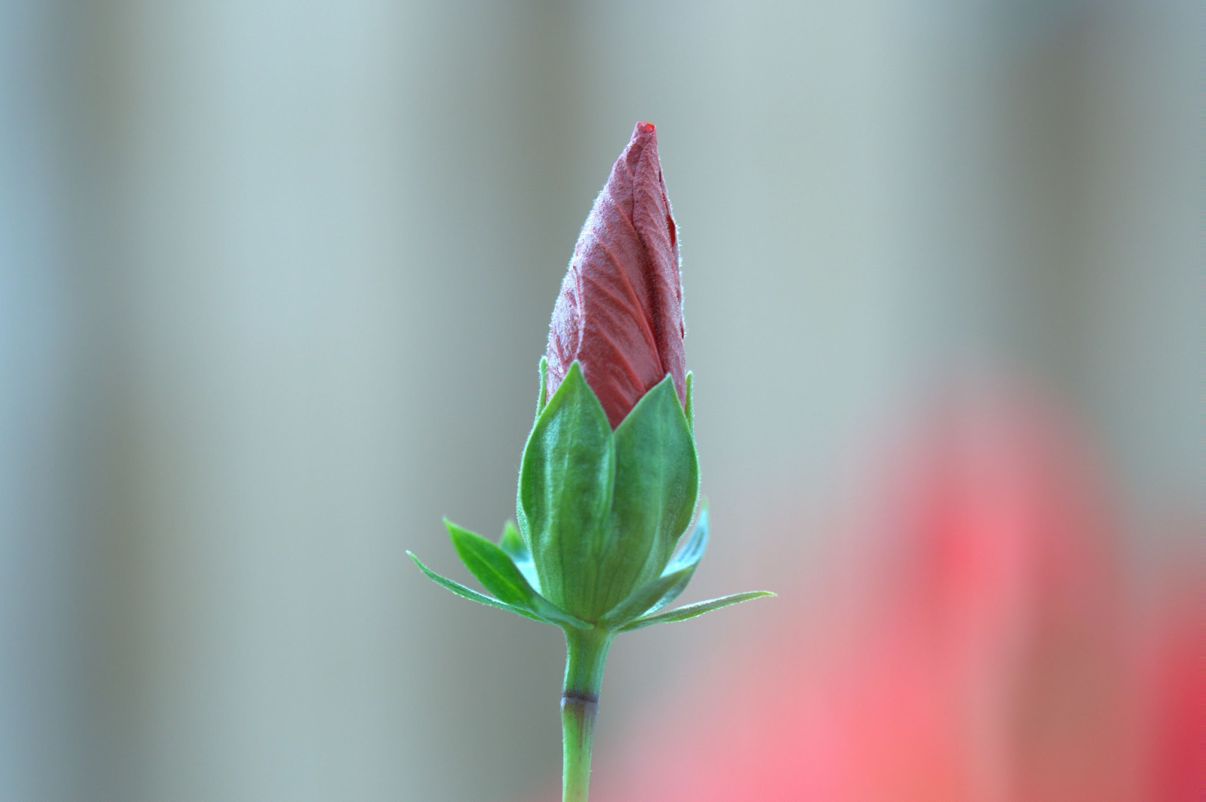 flower, focus on foreground, close-up, leaf, fragility, growth, red, petal, freshness, stem, plant, beauty in nature, nature, flower head, selective focus, bud, pink color, day, single flower, outdoors