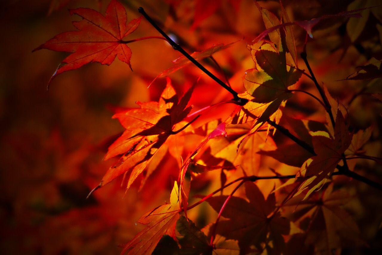 💤おやすみなさい😴 EyeEm Nature Lover Leaf Turns Red And Yellow The Beauty Of Fall Eye4photography  Beni Delusion EyeEm Best Shots - Autumn / Fall Leaf 🍂 Red Leaves To Take Off Daily こっくりPhoto 紅いトコだけ切り取り…σ(^_^;)