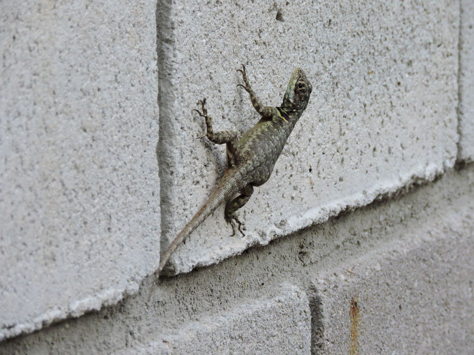 Lizard, very found in Brazil, eats insects, is not aggressive and lurks in cracks, inhabits places with stones. Amphibian Amphibian Animal Biodiversity Brazil Lizard Calango Calico Creature Exotic Brazil Exotic Pets Insectivorous Lizard Lizard Close Up Lizard Nature Lizard Photography Lizards Pretador Reptile Reptile Photography Zoology