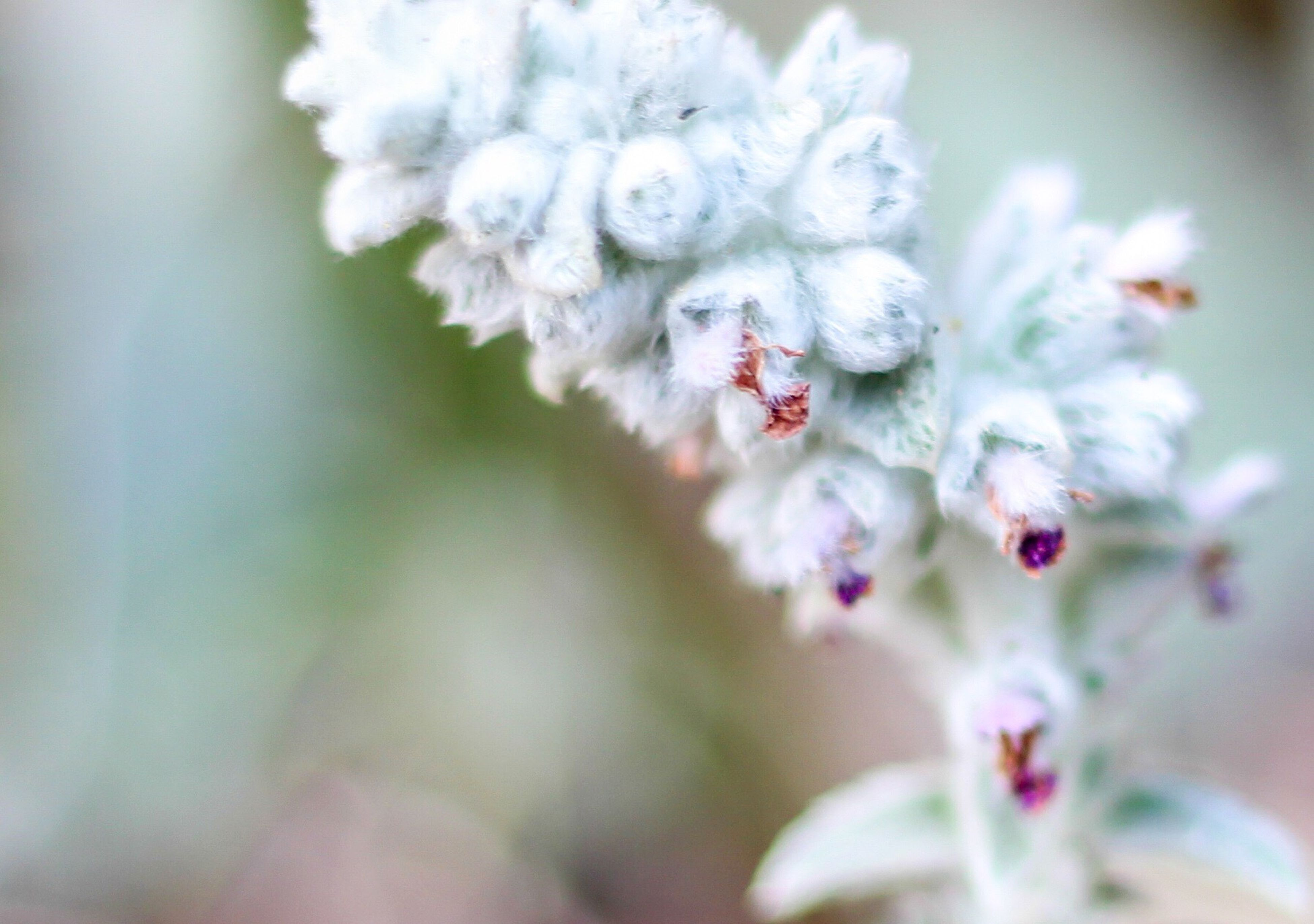 flower, freshness, fragility, petal, focus on foreground, close-up, growth, flower head, beauty in nature, white color, nature, selective focus, blooming, blossom, in bloom, bud, plant, cherry blossom, stem, springtime