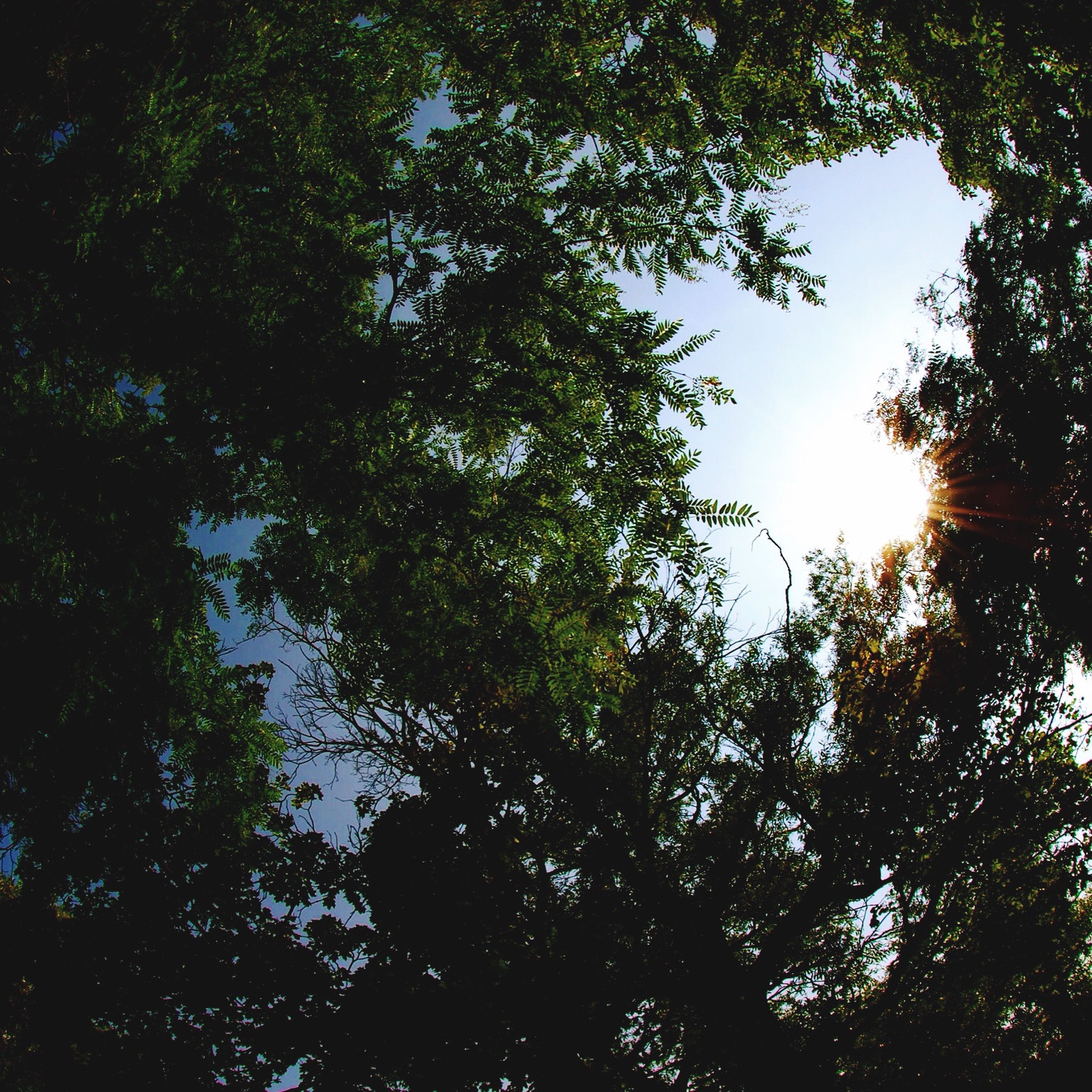 tree, low angle view, branch, growth, tranquility, nature, beauty in nature, forest, sky, green color, scenics, sunlight, tranquil scene, outdoors, leaf, no people, day, lush foliage, silhouette, clear sky