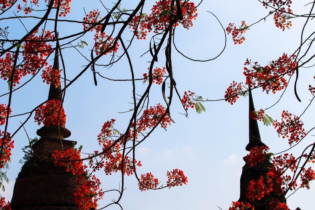 Tree Nature Branch Spirituality Freshness Flowers Flamboyant Stupa Pagoda Sukhothaihistoricalpark Thailand