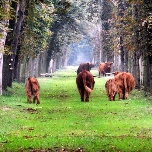 Tjongervallei Schotse Hooglanders De Natuur Op Z'n Best  Taking Photos