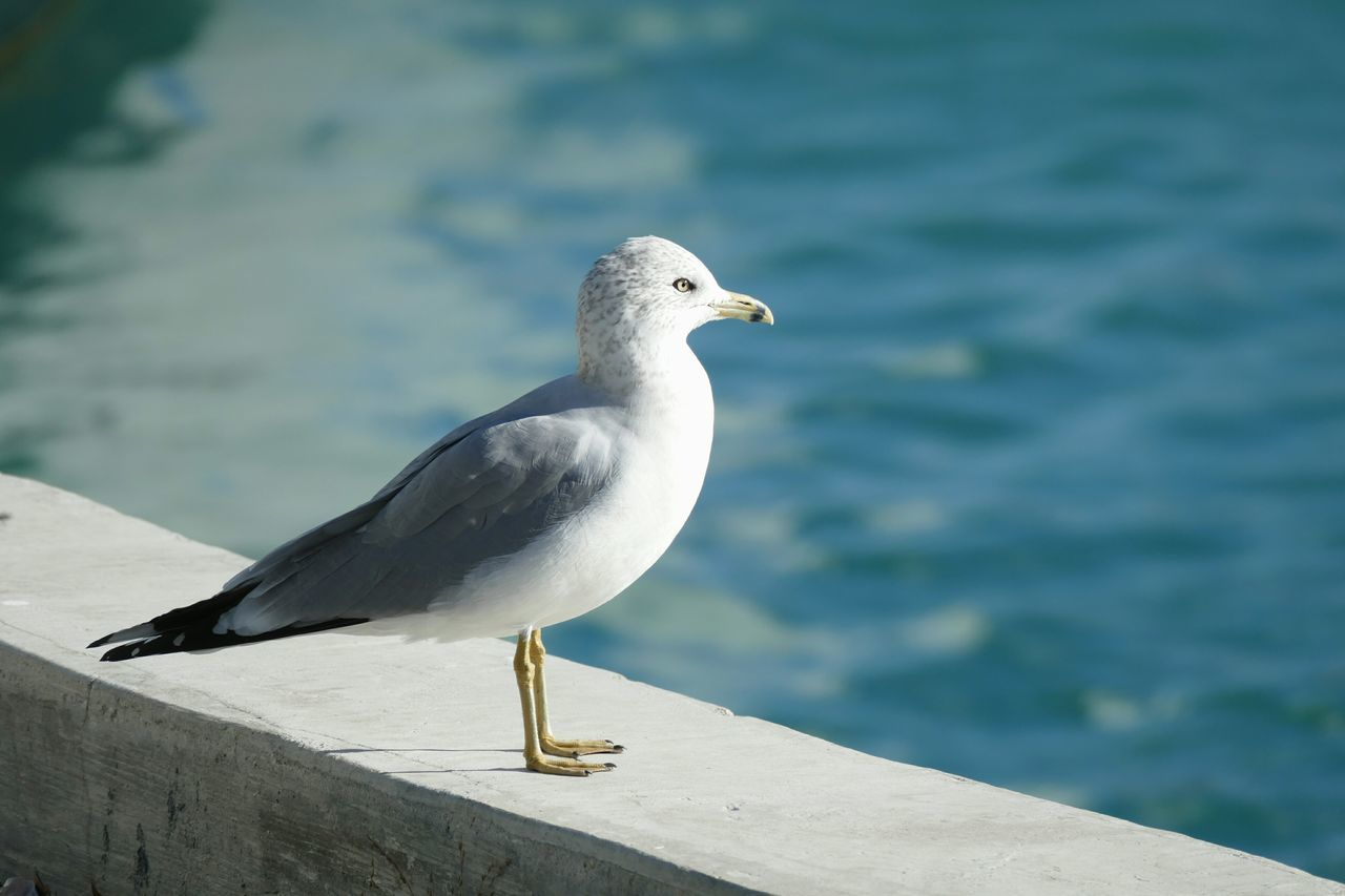 animals in the wild, bird, one animal, animal themes, animal wildlife, perching, day, seagull, outdoors, nature, no people, focus on foreground, water, close-up, retaining wall