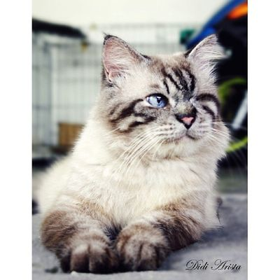 My HERO . Didi Arista also handicapped cat (1 eye) Aristacats Kucing Igcats igmalaysian catlover catsagram catsoftheday kissa kot kedi neko gato meow