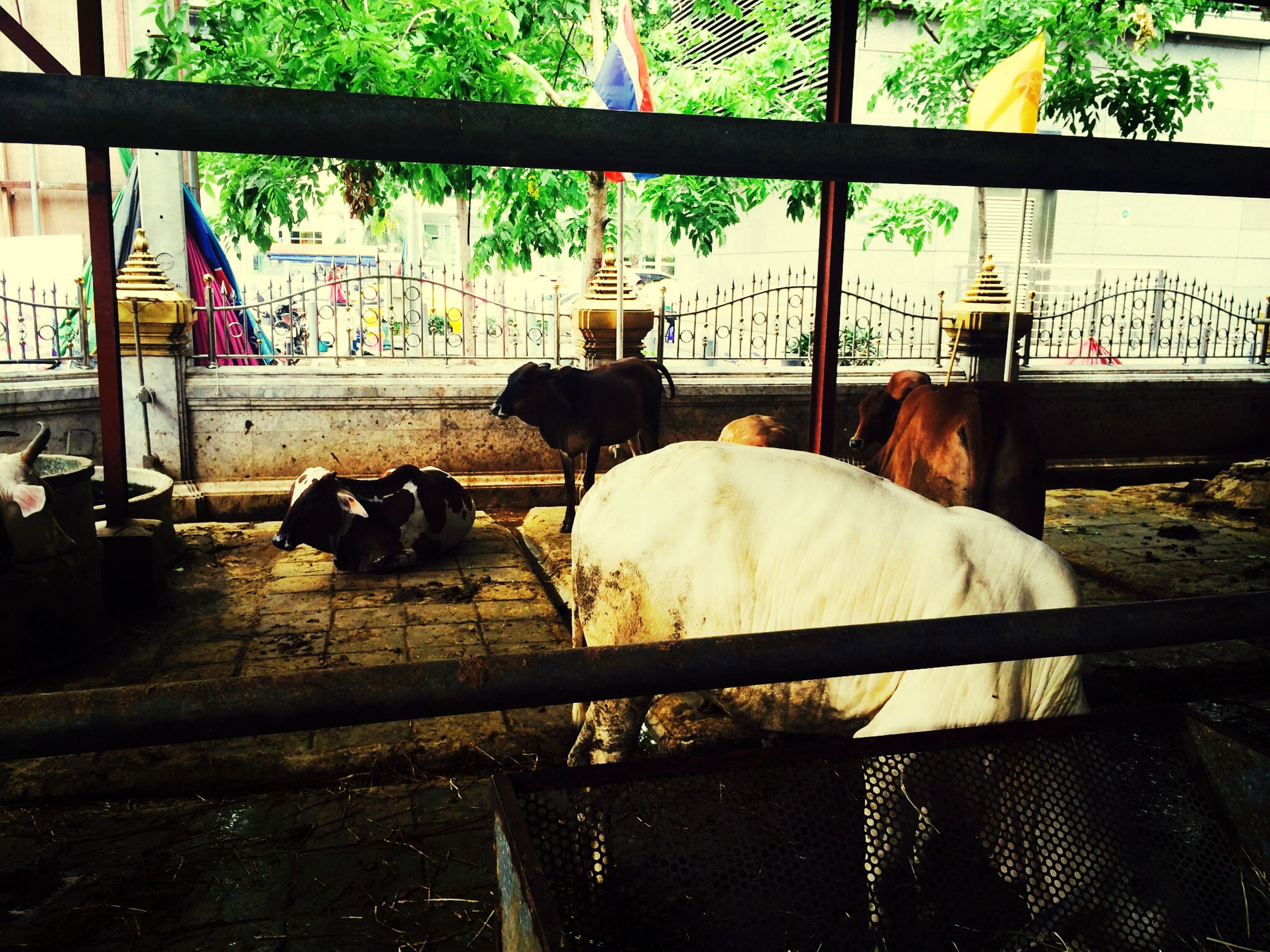 animal themes, domestic animals, mammal, livestock, one animal, two animals, pets, animals in captivity, fence, animal pen, zoology, cage, built structure, cow, relaxation, day, railing, indoors, no people, animal
