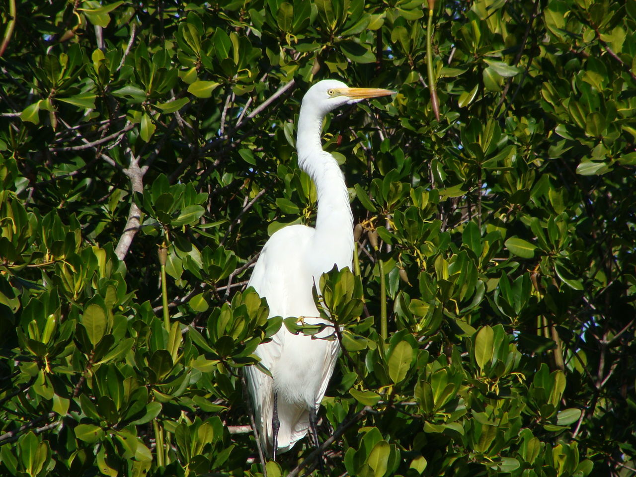 Animal Themes Animal Wildlife Animals In The Wild Beauty In Nature Bird Crane - Bird Day Egret Florida Great Egret Great Egrets Green Color Heron Mangroves Nature No People One Animal Outdoors Perching Perching On A Branch Sanibel Island White Color