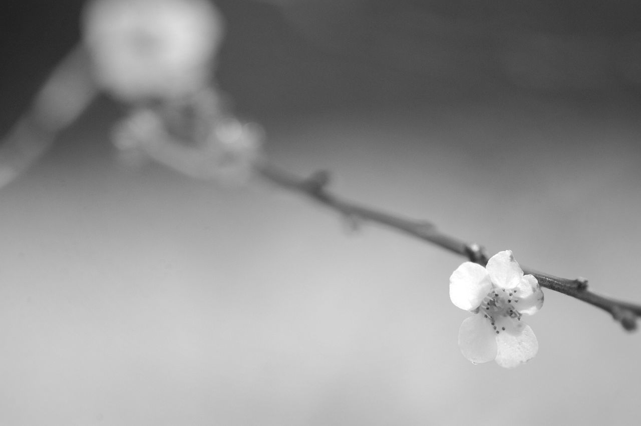 flower, white color, twig, beauty in nature, fragility, selective focus, nature, no people, close-up, flower head, growth, day, outdoors, freshness