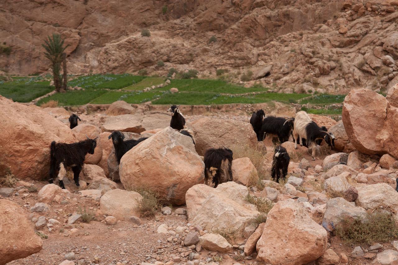 Beautiful stock photos of goat, Animal, Animal Themes, Day, Domestic Animals