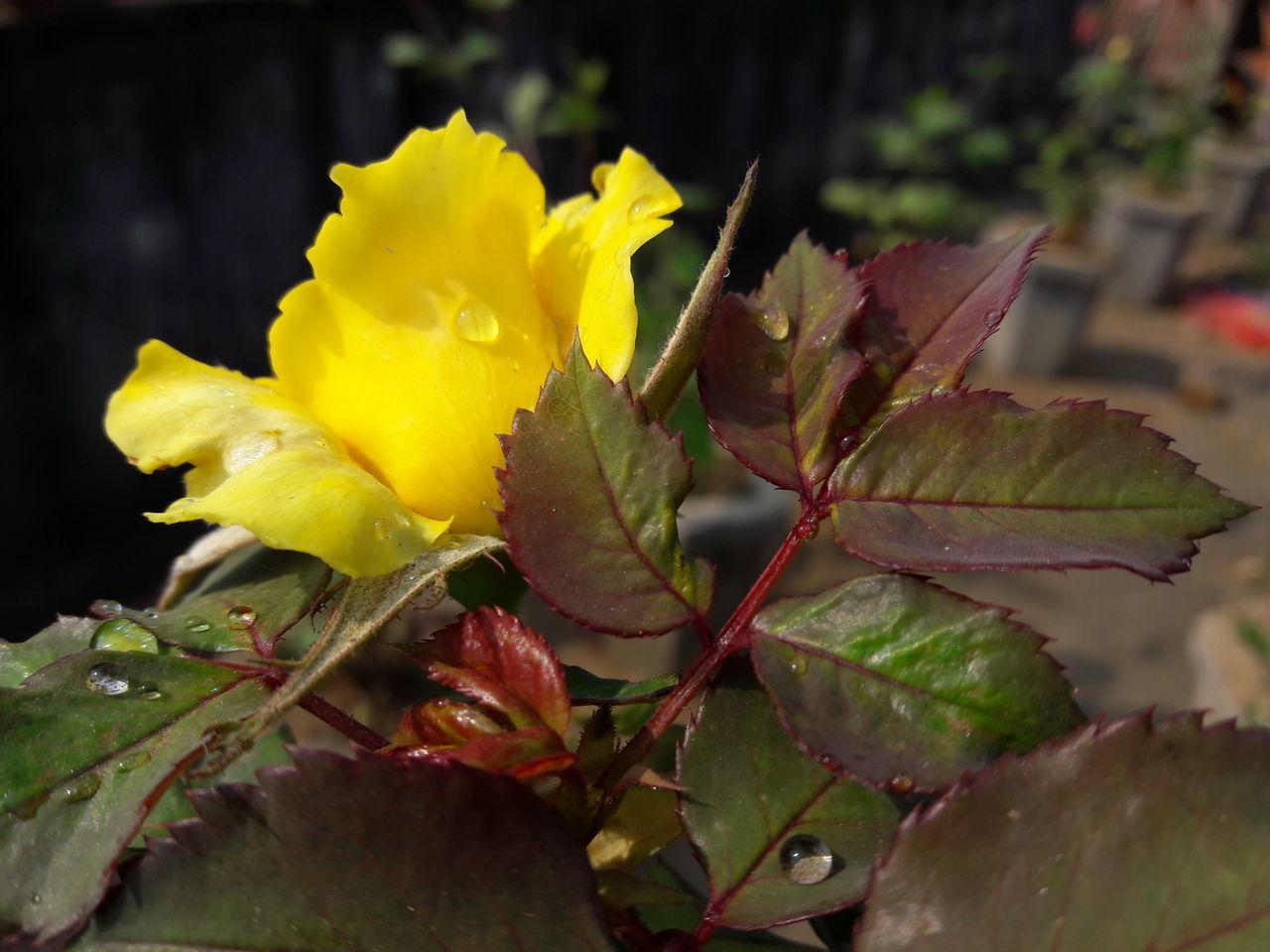Yellow Rose CLick BY ME Jamshedpur Bhubneshwar